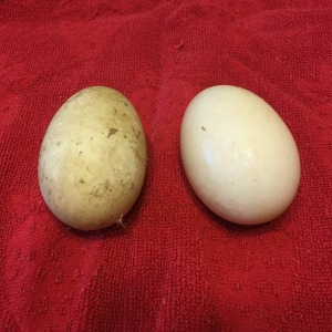First and second duck eggs